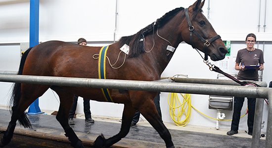 Training - Horse in treadmill